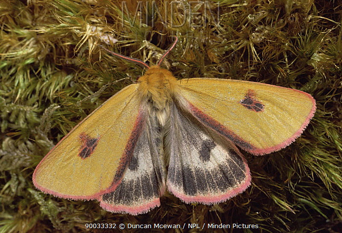 Clouded buff moth (Diacrisia sannio) wings open, heathland, Scotland, UK  -  Duncan McEwan/ npl