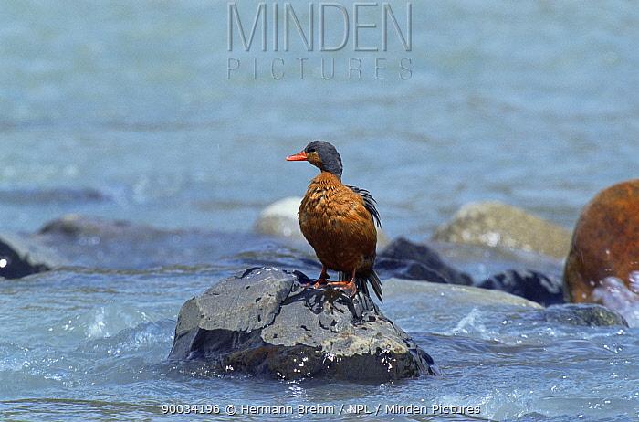 Torrent duck female (Merganella armata) Torres del Paine NP, Chile  -  Hermann Brehm/ npl