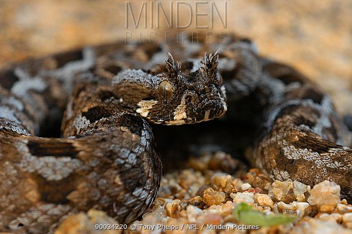 Many-horned Adder (Bitis cornuta) Western Cape, South Africa  -  Tony Phelps/ npl