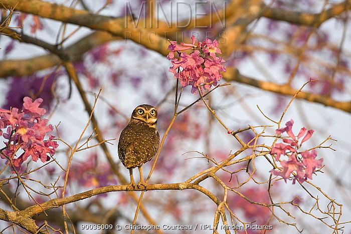 Burrowing Owl (Athene cunicularia) amongst the flowers of an Ip? Tree, Pantanal, Brazil  -  Christophe Courteau/ npl