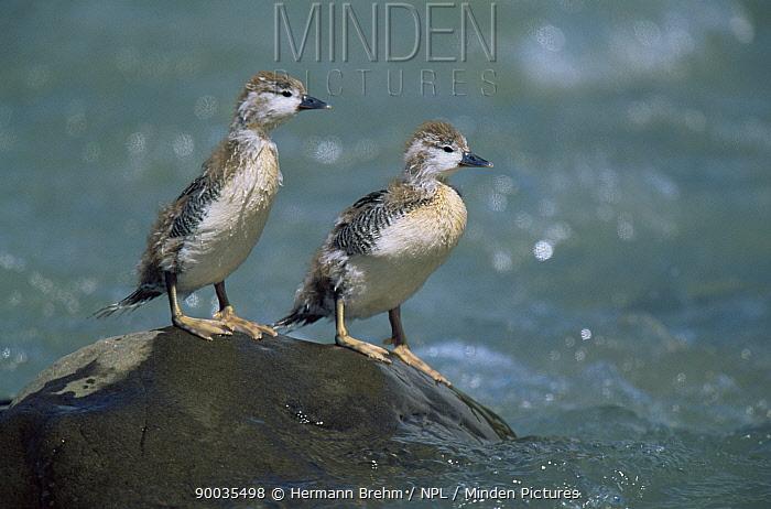 Torrent duck, two chicks (Merganella armata) Torres del Paine NP, Chile  -  Hermann Brehm/ npl