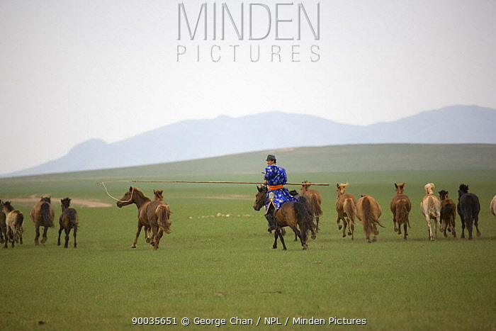 Mongolian nomad rounding up his horses in Inner Mongolia June 2006  -  George Chan/ npl