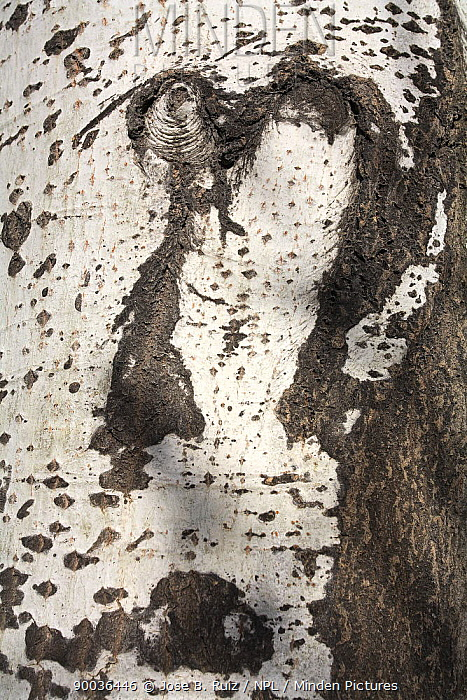 Silver-leaf Poplar (Populus alba) bark Ibi, Alicante, Spain  -  Jose B. Ruiz/ npl