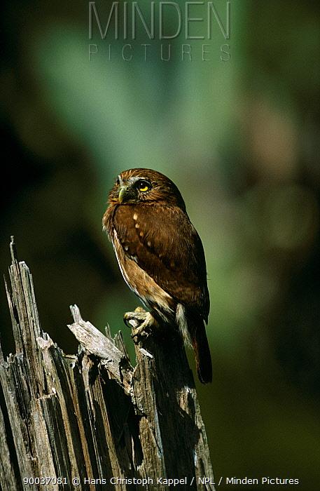 Ferruginous Pygmy Owl (Glaucidium brasilianum) Itatiaia National Park, Brazil  -  Hans Christoph Kappel/ npl