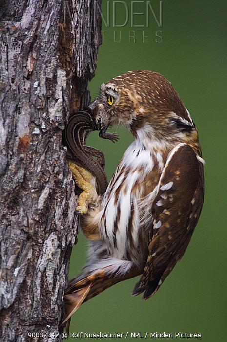 Ferruginous Pygmy Owl (Glaucidium brasilianum) adult taking lizard prey into nest hole, Rio Grande Valley, Texas  -  Rolf Nussbaumer/ npl