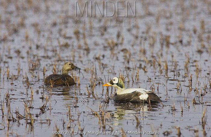 Spectacled Eider (Somateria fischeri) pair on breeding pond in arctic tundra, Barrow, Alaska  -  Roy Mangersnes/ npl