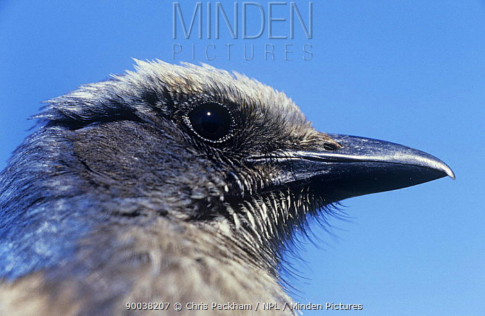 Florida Jay (Aphelocoma coerulescens) head portrait Florida  -  Chris Packham/ npl