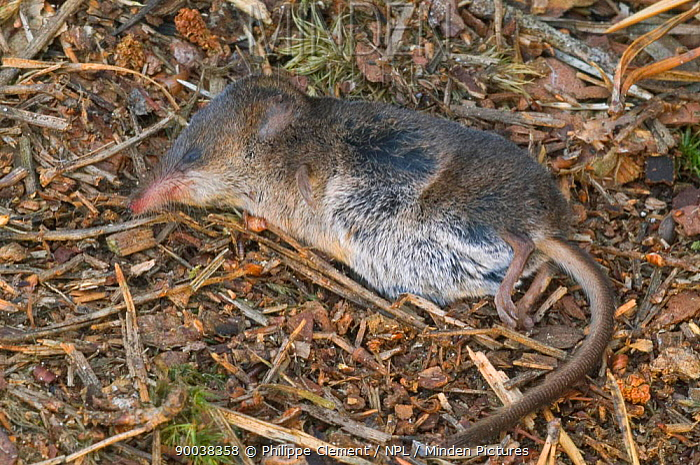 Dead Shrew (Sorex sp) Belgium  -  Philippe Clement/ npl