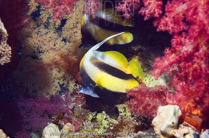 Red Sea Bannerfish (Heniochus intermedius) pair with soft corals Egypt, Red Sea  -  Georgette Douwma/ npl