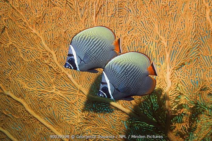 Collared Butterflyfish (Chaetodon collare) pair against seafan coral Andaman Sea, Thailand  -  Georgette Douwma/ npl