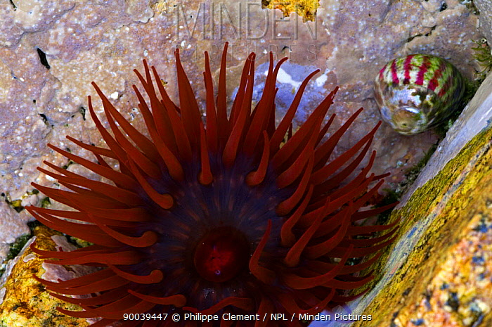 Beadlet Anemone (Actinia equina) in rockpool, Brittany, France  -  Philippe Clement/ npl