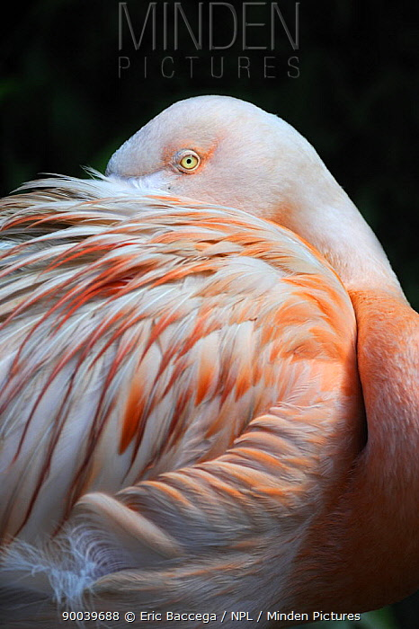Chilean Flamingo (Phoenicopterus chilensis) resting head under wing, captive, native to South America  -  Eric Baccega/ npl