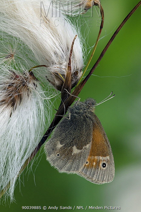 Large Heath butterfly (Coenonympha tullia) On Cotton Grass seed heads, Captive, UK  -  Andy Sands/ npl