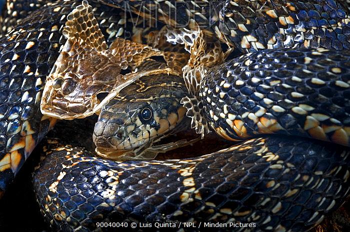 Horseshoe whip snake (Coluber hippocrepis) shedding its skin, Altetego, Portugal  -  Luis Quinta/ npl