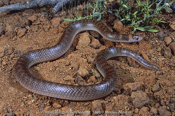 Northern shovel-nosed snake (Brachyurophis roperi) male, burrower that specialises in eating reptile eggs, Lake Argyle, Western Australia  -  Robert Valentic/ npl