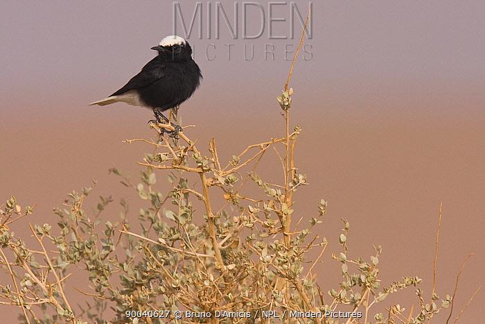 White-crowned wheatear (Oenanthe leucopyga) perched on shrub, Sahara desert, Morocco, NW Africa  -  Bruno D'amicis/ npl