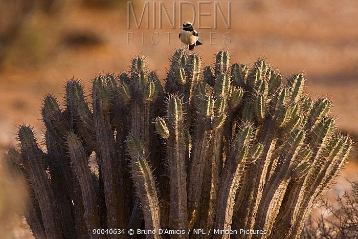 Desert Wheatear (Oenanthe deserti) adult male perched on desert Spurge, Euphorbia (Euphorbia officinarum echinus) Sahara desert, Morocco  -  Bruno D'amicis/ npl