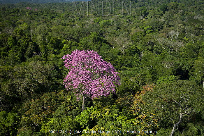 Aerial view of flowering pink Ip? tree (Tabebuia avellanedae) in the Amazon upland rainforest, Northern Mato Grosso State, Western Brazil  -  Luiz Claudio Marigo/ npl