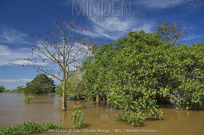 105ef21fc85 Mungubeira tree (Pseudobombax munguba) in the floodplain during flood  season of Amazonas River