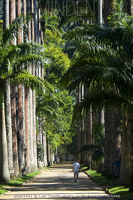 Minden Pictures stock photos - Avenue of Royal Palm Trees (Roystonea ...