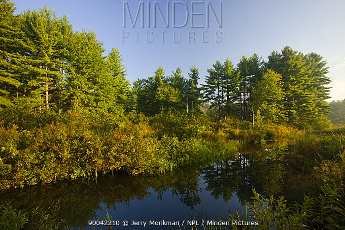 A beaver flowage on the Isinglass River in Strafford, New Hampshire, USA  -  Jerry Monkman/ npl
