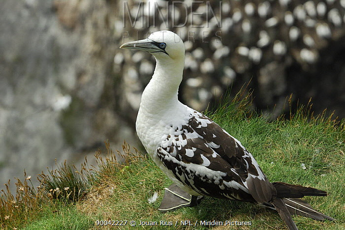 Young Norther gannet on sea cliff (Sula bassana) Shetland Islands, Scotland, UK  -  Jouan & Rius/ npl