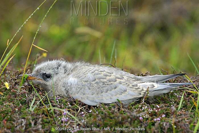 Arctic Tern (Sterna paradisaea) chick in nest, Land of Fair isle, Shetland Islands, Scotland United Kingdom  -  Jouan & Rius/ npl