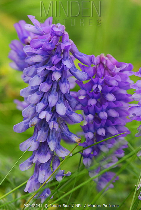Wildflowers in summer, Shetland Islands, Scotland, UK  -  Jouan & Rius/ npl