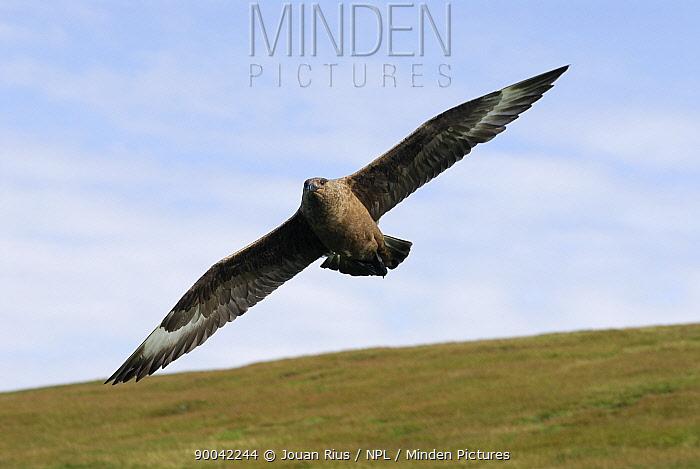 Great Skua (Catharacta skua) adult attacking to protect his nest, Shetland Islands, Scotland United Kingdom  -  Jouan & Rius/ npl