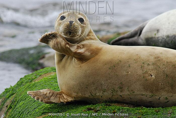 Harbour, Common seal (Phoca vitulina) portrait with flipper raised, Shetland Islands, Scotland, UK  -  Jouan & Rius/ npl