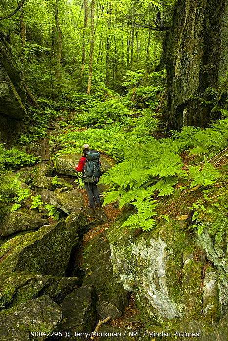 A hiker in Devil's Gulch on The Long Trail, the Green Mountains, Eden, Vermont, USA  -  Jerry Monkman/ npl