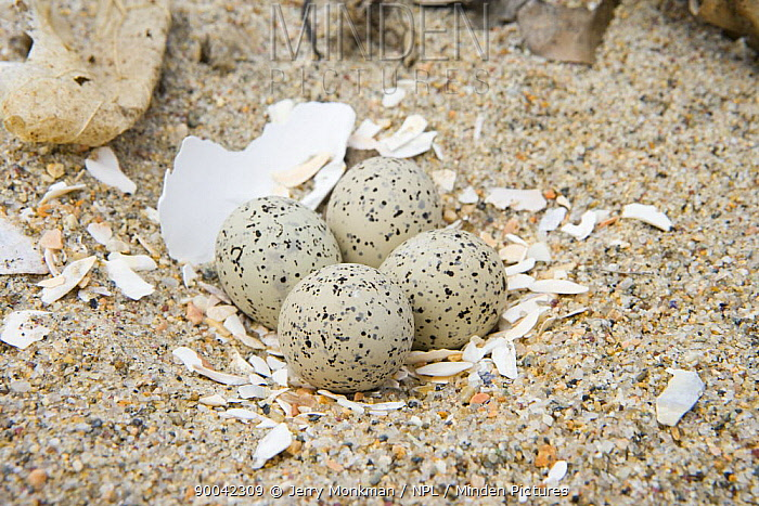 Piping Plover (Charadrius melodus) eggs in nest on the beach at Griswold Point, Old Lyme, Connecticut  -  Jerry Monkman/ npl