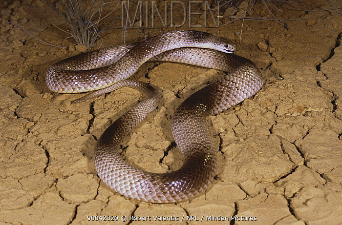 Speckled brown snake (Pseudonaja guttatus) male banded phase gapes and flattens its hood in threat display, Barkly Tableland, Northern Territory, Australia  -  Robert Valentic/ npl