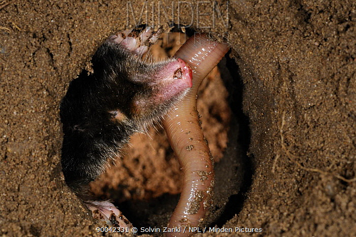 European Mole (Talpa europaea) catching worm in its subterranean burrow, captive, Germany  -  Solvin Zankl/ npl