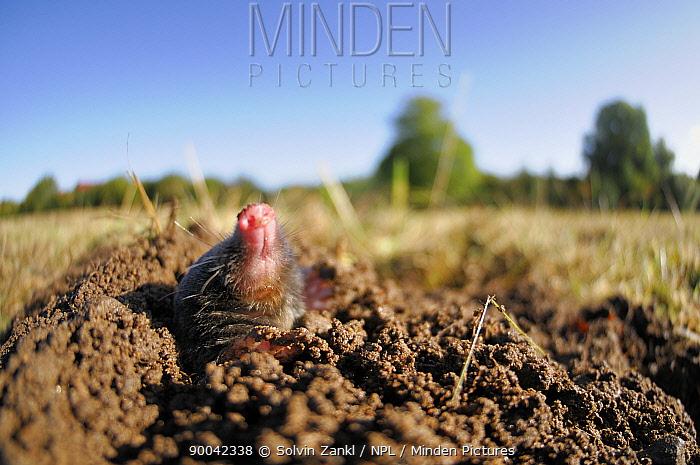 European Mole (Talpa europaea) emerging from its molehill, captive, Germany  -  Solvin Zankl/ npl