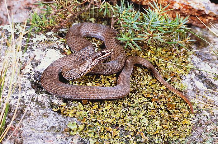 White lipped snake (Drysdalia coronoides) female, a small diurnal venomous species, Hobart, Tasmania, Australia  -  Robert Valentic/ npl