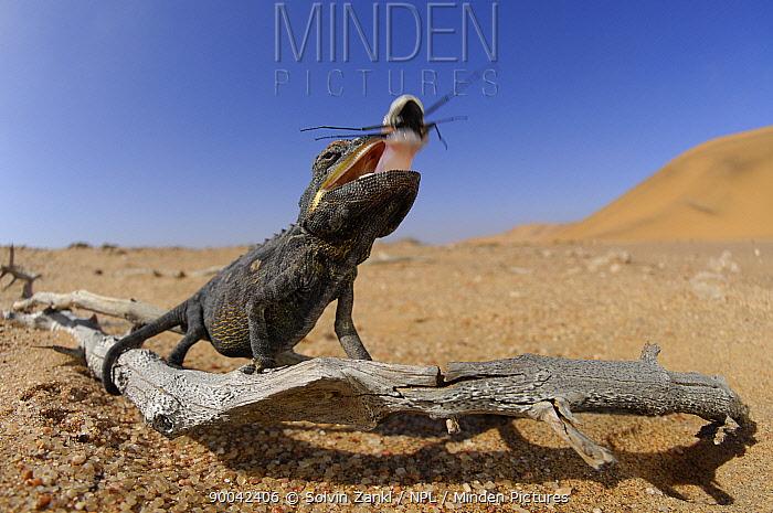 Namaqua Chameleon (Chamaeleo namaquensis) feeding on beetle, Namib Desert, Namibia  -  Solvin Zankl/ npl