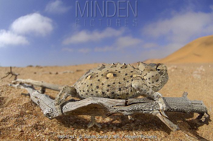 Namaqua Chameleon (Chamaeleo namaquensis) in desert habitat, Namib Desert, Namibia  -  Solvin Zankl/ npl