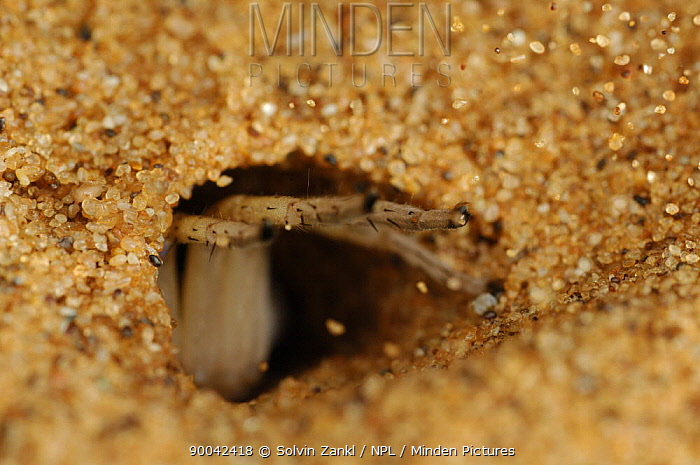 Wheel Spider (Carparachne aureoflava) at entrance to burrow which can extend 40, 50 cm into the sand, Namib desert, Namibia  -  Solvin Zankl/ npl