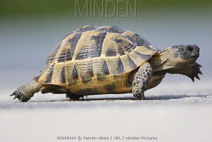 Mediterranean Spur-thighed Tortoise (Testudo graeca) adult walking, Bulgaria  -  Kerstin Hinze/ npl