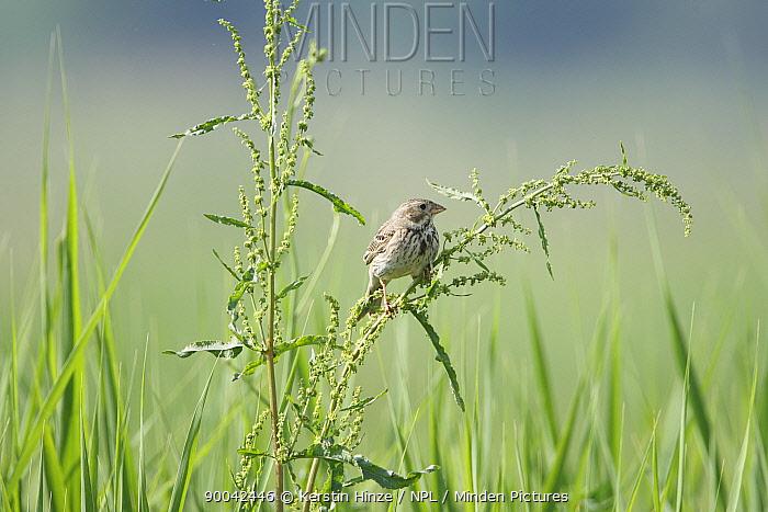 Corn Bunting (Emberiza calandra) adult perched on plant seeds, Bulgaria  -  Kerstin Hinze/ npl