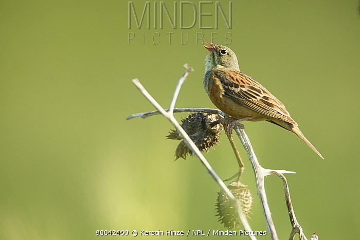 Ortolan Bunting (Emberiza hortulana) adult perched, singing, Bulgaria  -  Kerstin Hinze/ npl