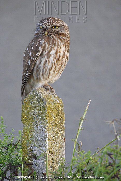 Little Owl (Athene noctua) adult perched on post, Bulgaria  -  Kerstin Hinze/ npl