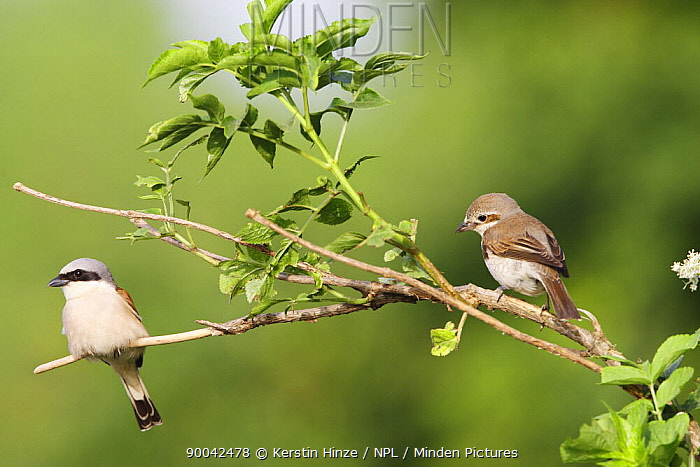 Red-backed Shrike (Lanius collurio) male and female pair, Bulgaria  -  Kerstin Hinze/ npl