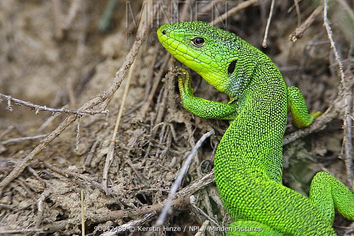 Balkan Green Lizard (Lacerta trilineata) Bulgaria May 2008  -  Kerstin Hinze/ npl