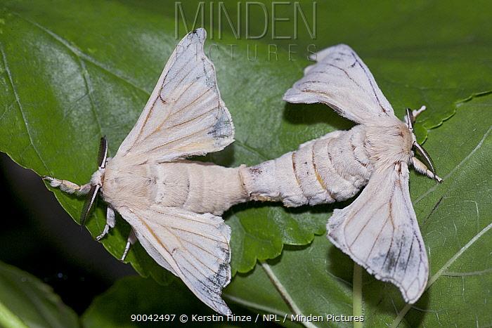Silkworm (Bombyx mori) mating at silk farm, Zernikow, Germany  -  Kerstin Hinze/ npl