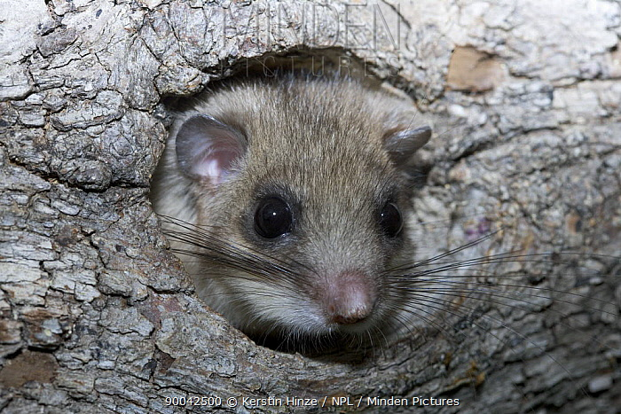 Fat Dormouse (Glis glis) peering out of nest hole in wood, Baden-W?rttemberg, Germany  -  Kerstin Hinze/ npl