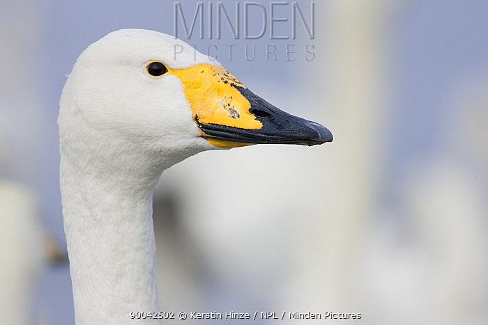 Whooper Swan (Cygnus cygnus) portrait, Lake Kussharo, Hokkaido, Japan  -  Kerstin Hinze/ npl