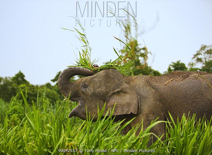 Borneo, Malaysia Pygmy Elephant (Elephas maximus borneensis) threshing food, Sukau, Sabah, Borneo, Malaysia  -  Tony Heald/ npl
