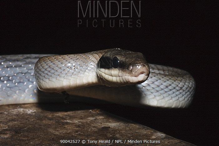 Cave Racer [Elaphe taeniura ridleyi] in cave, Gomantong caves, Sabah, Borneo, September  -  Tony Heald/ npl